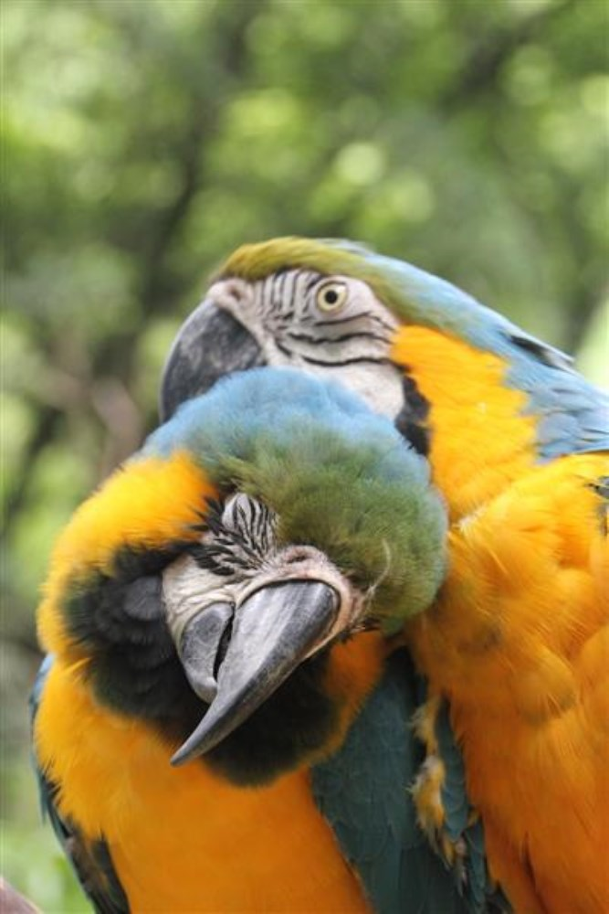 copan ruinas, macaw birds in the park