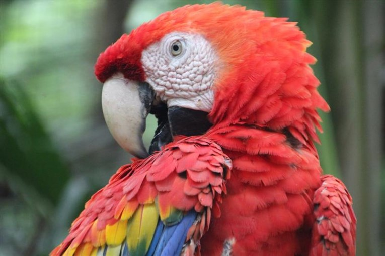 copan ruinas, macaw in the birdpark