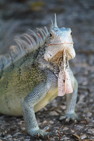You can see a lot of iguana around the island of Curacao