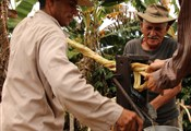 Squeezing the juice out of the sugar cane