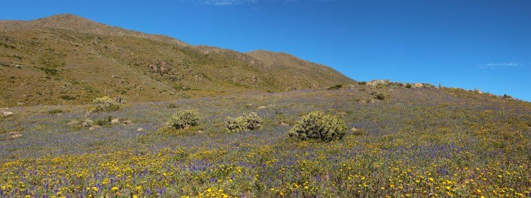 Colca canyon with many flowers