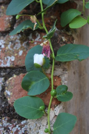 Capers growing on the wall