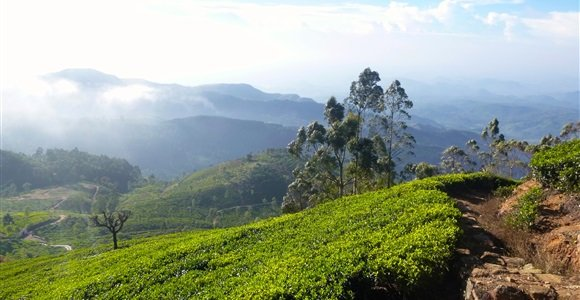 Lipton tea plantation