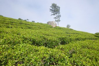 Lipton tea plantations