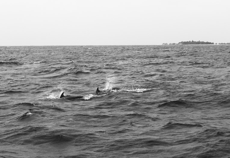 dolphins black and white